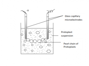 protoplast isolation technical and teaching notes Investigating the light dependent reaction in photosynthesis  (note 1) isolation medium (sucrose and kcl in phosphate buffer): store in a refrigerator at 0–4 °c (note 2)  dilute it.