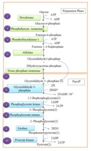 glycolysis ....