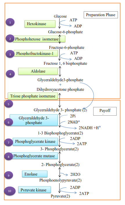 a description of glucose as the primary fuel used in glycolysis